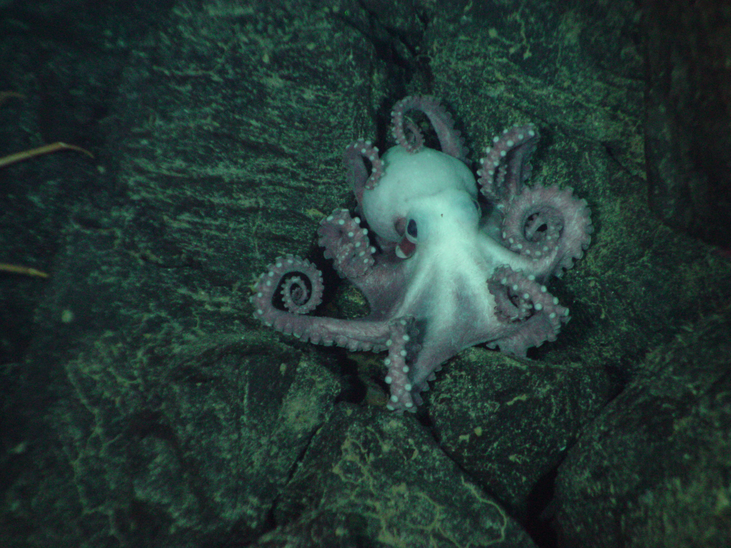 this octopus was spotted on the side of a fault scarp during a geologic traverse on