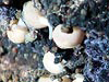 Buccionid whelks and other invertebrates.