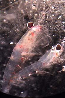 Krill, foto da NOAA