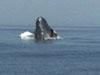 Breaching humpback.
