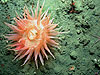 a deep-water anemone.
