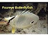Different markings in species of butterfly fish.