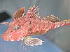 A sea robin fish