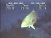 amberjack fish video
