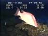 hogfish video