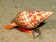 A Banded Tulip snail is one of the documented species of  invertebrates