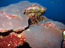 Great Star Coral (Montastraea Cavernosa)