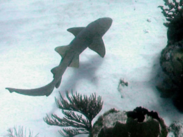 Nurse Shark picture 1