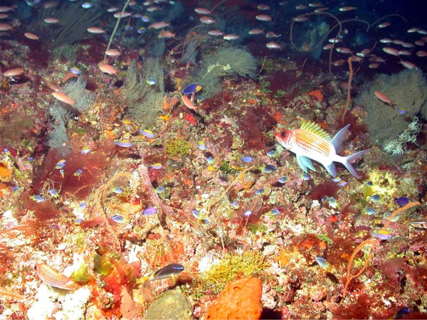 Noaa ocean explorer gulf of mexico deep sea habitats for Types of fish in the gulf of mexico