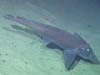 A chimaera at Bear Seamount