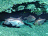 group of red bream, Beryx decadactylus