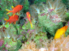 "Soft corals (~10-15 cm tall) and tropical fish share the paradise we named ""Aquarium""."