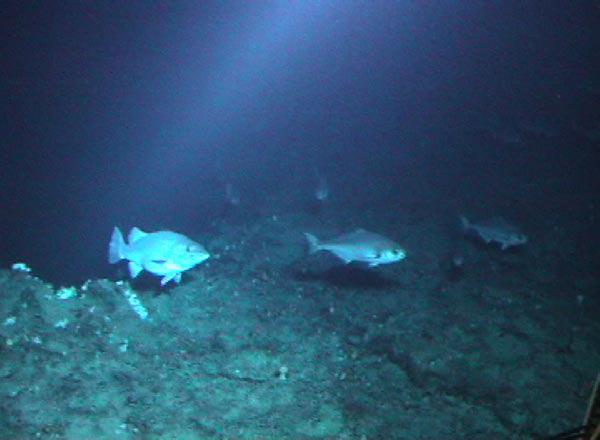 Noaa ocean explorer explorations autos post for Ocean explorer fishing