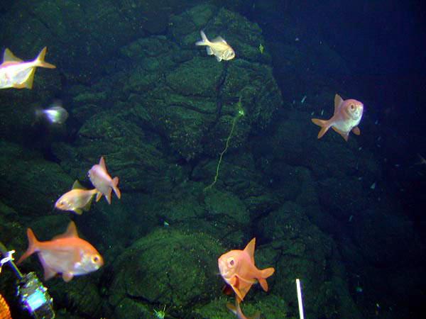 Noaa ocean explorer new zealand american submarine ring for Ocean explorer fishing