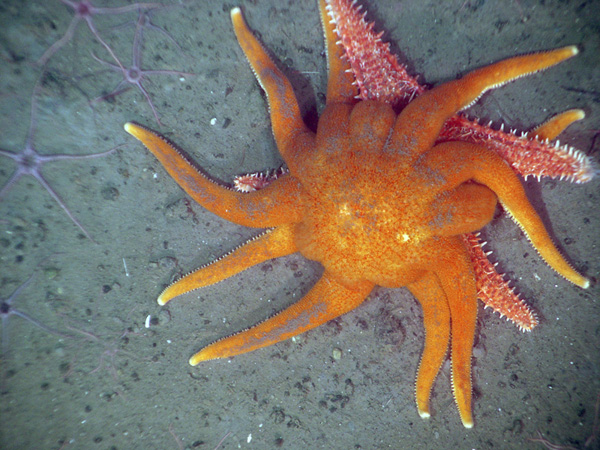 The sun star Solaster dawsoni attacking the spiny red sea star Hippasteria spinosa