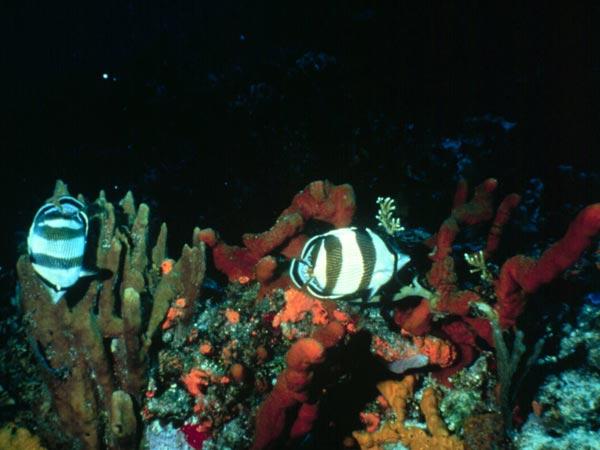 Twilight Zone Ocean >> Noaa Ocean Explorer Cayman Islands Twilight Zone 2007