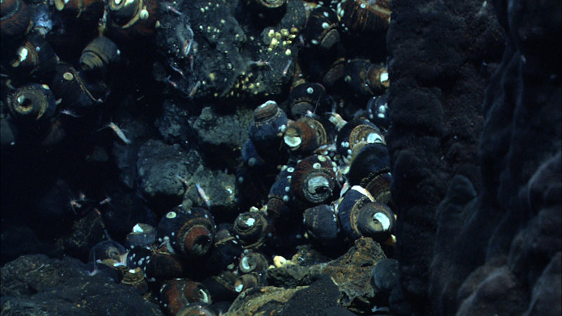 Imagery of a hydrothermal vent chimney with snails taken by the Quest 4000 remotely operated vehicle in the Northeast Lau Basin.