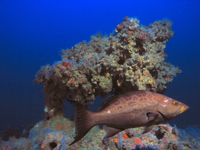 Deep reefs, referred to as mesophotic coral ecosystems, can be found from 100-330 feet in the eastern Gulf of Mexico.