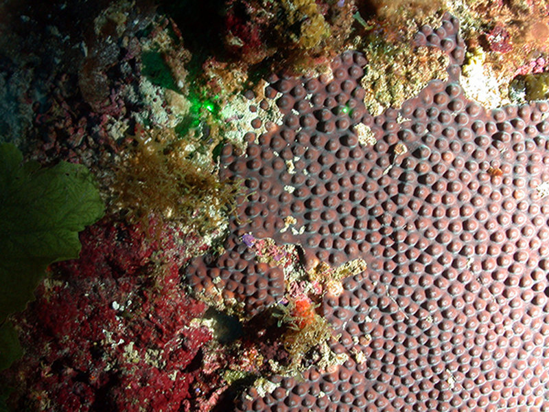 Montastraea cavernosa (great star coral).