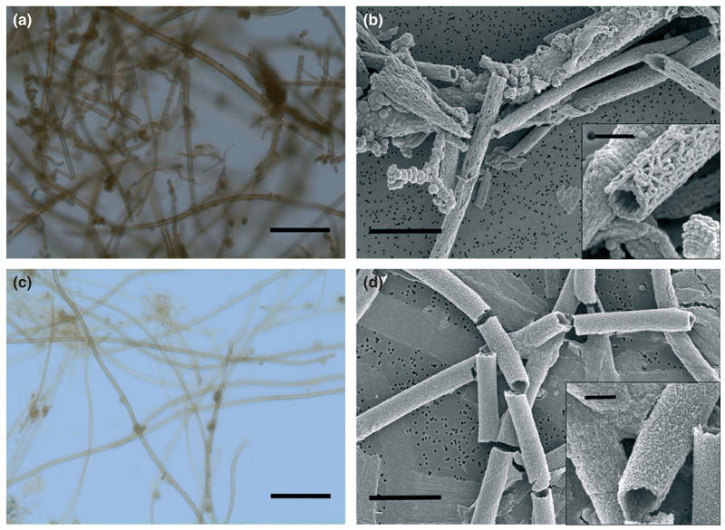 Micrographs of samples of marine and freshwater sheaths inside microbial mats.