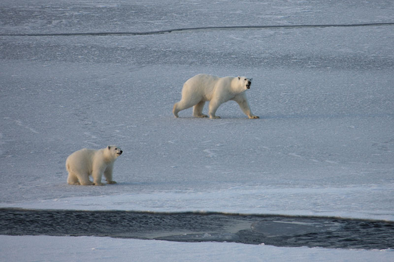 These polar bears are on very thin ice, surrounded by cracks and leads, which make it very hard for them to travel.