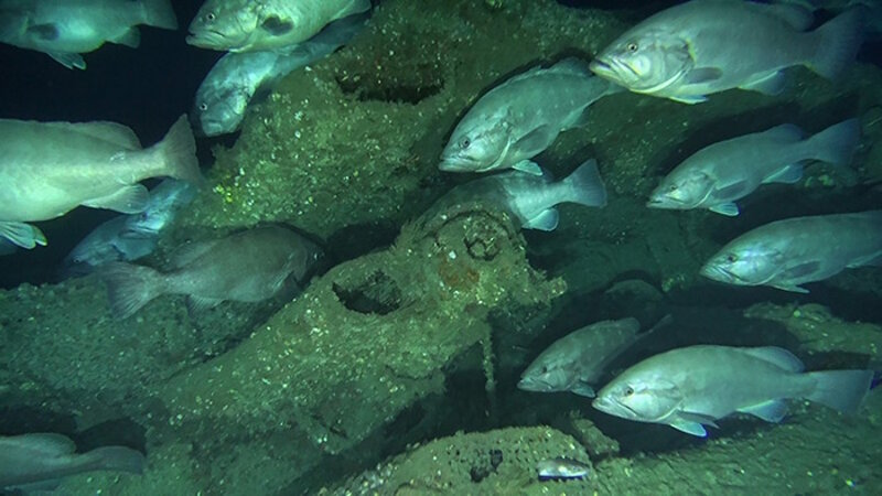 Different types of fish, including grouper (throughout) and conger eel (bottom center), rely on the U-576 for habitat.