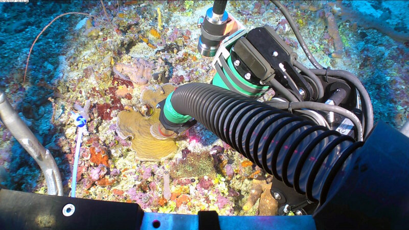 Using the ROV suction hose to collect fragments of Agaricia sp. off the top of the wall in the upper mesophotic zone at 50 meters depth. The vacuum prevents small pieces from falling out of reach once they break