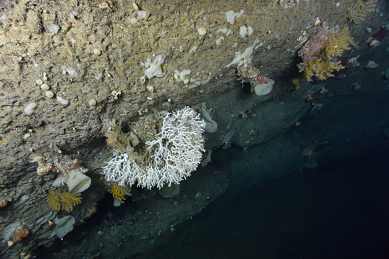 "The colonial stony coral Lophelia pertusa (white) with Paramuricea (yellow), along with sponges and stony cup corals (both white) on a vertical wall in an unnamed ""minor"" canyon between Munson and Nygren Canyons."