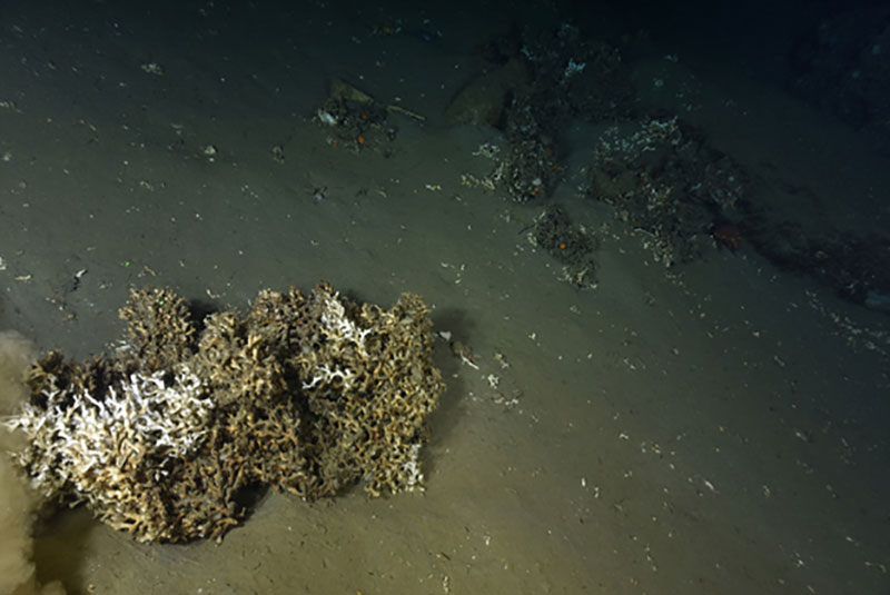Example of a large detached block of mostly dead (brown skeleton) stony coral Lophelia pertusa on the seafloor of an unnamed canyon between Heezen and Nygren Canyons.