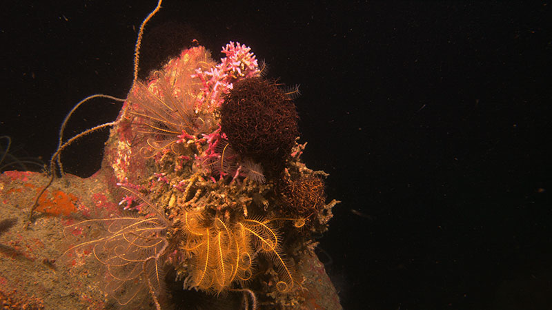 Basket stars, feather stars, and corals colonizing the top of a carbonate outcrop at Alderdice Bank, 86 meters (282 feet) deep.