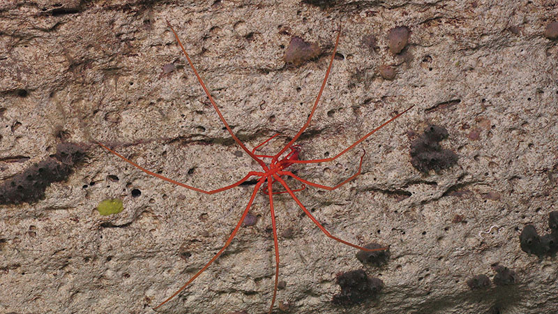 This pycnogonid sea spider was seen on Dive 5 at Pamlico Canyon.