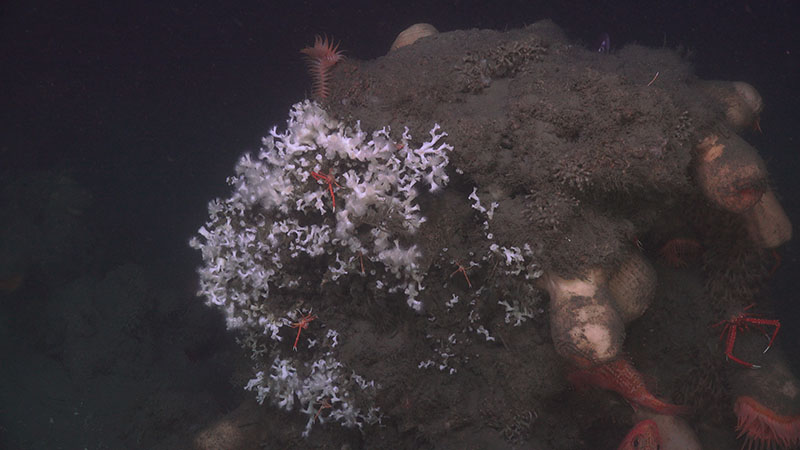 Team DEEP SEARCH even observed a small colony of Lophelia pertusa growing on a sediment-covered rock at Pea Island Seep.
