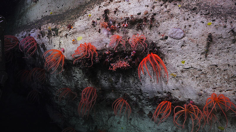 At Pamlico Canyon, we observed canyon walls covered in brinsingid starfish, cup corals, and a diversity of other corals including both octocorals and stony corals.