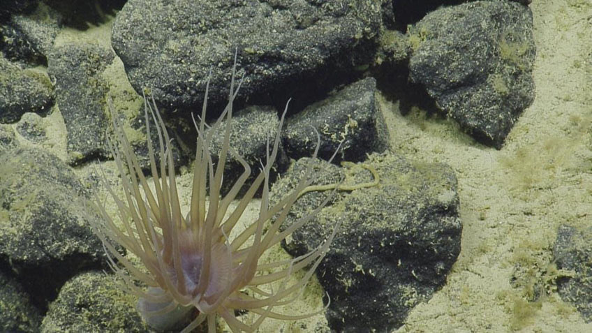 "Cerianthid anemones, like this one found at San Juan Seamount, build rubbery tubes that they live in, which is why they are also known as ""tube anemones"". (Depth: approximately 2,550 meters.)"