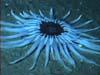 Deep sea anemone
