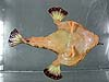 Ventral side of batfish