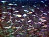 school of pygmy rockfish