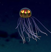 This April 24, 2016 image made available by NOAA shows a bioluminescent jellyfish during a deepwater exploration of the Marianas Trench Marine National Monument area in the Pacific Ocean near Guam and Saipan. Dives in the expedition ranged from 250 to 6,000 meters (820 feet to 3.7 miles) deep.