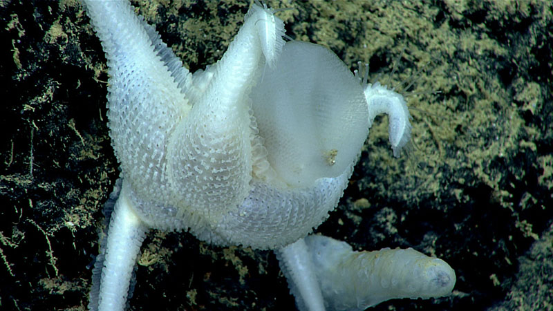 This sea star (Pythonaster atlantidis), from a poorly understood and rarely seen genus of sea stars, was observed feeding on a glass sponge during the Gulf of Mexico 2018 expedition.