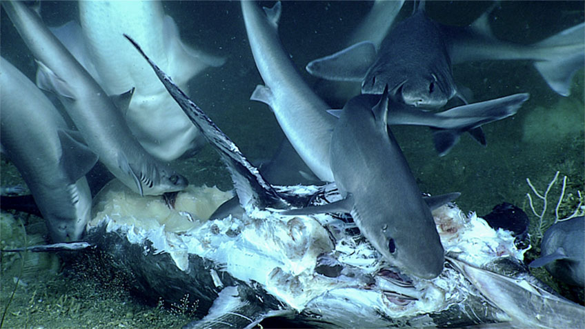 At least 11 dogfish sharks were observed feeding on this recently deceased Atlantic swordfish.