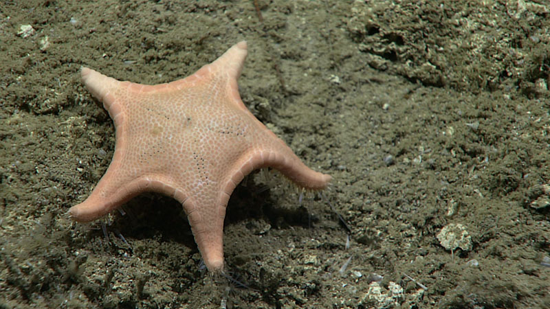 Named after OER's remotely operated vehicle Deep Discoverer, this sea star (Sibogaster bathyheuretor) was seen feeding on food items from the soft, unconsolidated seafloor during the Gulf of Mexico 2018 expedition.