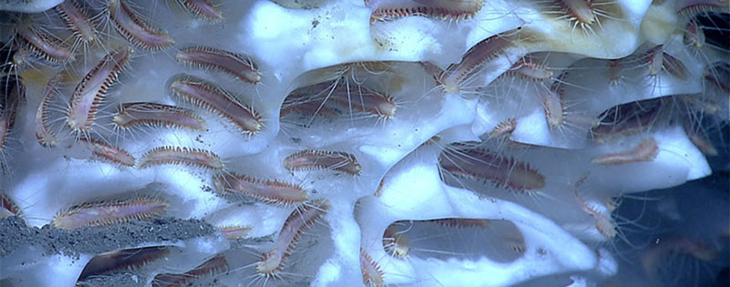 An aggregation of methane ice worms inhabiting a white methane hydrate in the Gulf of Mexico. Studies suggest that these worms eat chemoautotrophic bacteria that are living off of chemicals in the hydrate.