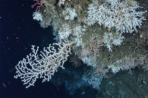 "A variety of deep-sea corals found on a ledge in an unnamed ""minor"" canyon between Heezen and Nygren Canyons, including the stony coral Lophelia pertusa, a large white gorgonian Paragorgia (bubblegum coral) and a small red Paragorgia (upper left), and the gorgonian Primnoa (orange, center)."