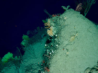 A diverse assemblage of corals and sponges, including yellow sponges (lower left) and colonial and solitary scleractinian (stony) corals (center of photo), observed on the western side of Munson Canyon (1,037-1,266 meters).