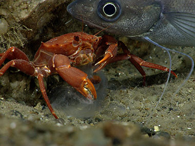A hake interrupts a red crab while it is eating ctenophore.