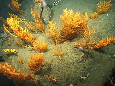 NOAA's ROV, Deep Discoverer, examines a collection of deepwater corals on the western wall of Oceanographer Canyon.