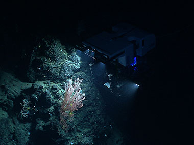 NOAA's ROV, Deep Discoverer, examines a deepwater coral colony on the north flank of the almost wholly unexplored Mytilus Seamount.