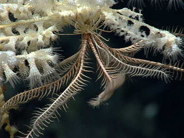 A crinoid or feather star hangs out on a deepwater coral on the south side of Mytilus Seamount.