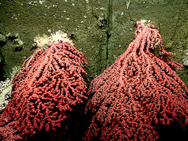 It takes hundreds of years for corals to grow as big as the ones we found in Heezen Canyon. Some deepwater corals are believed to live as long as 4,000 years.