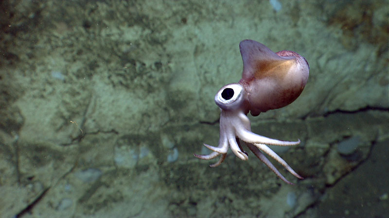 A bobtail squid is imaged by ROV D2 during Dive 07 in Atlantis Canyon. The squid is less than one foot in length.